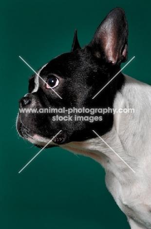 cute French Bulldog in green studio