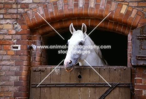 hanoverian looking over stable door