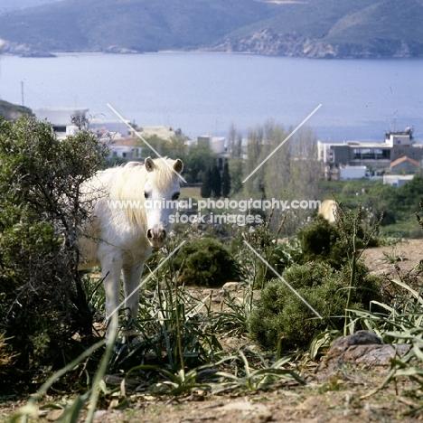 skyros pony mare looking round a bush on skyros island, greece