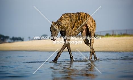 brindle Greyhound walking through water