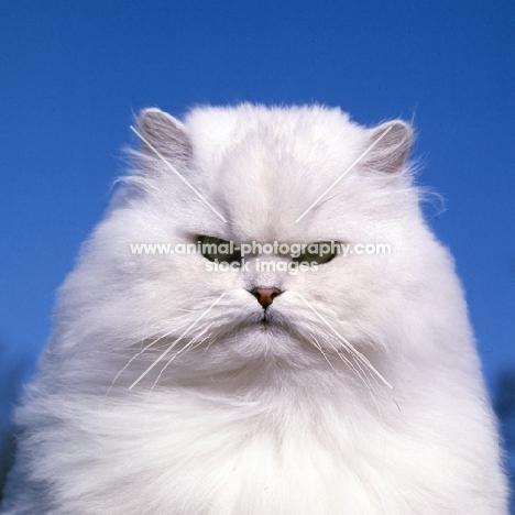champion chinchilla cat concentrating