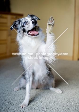 Blue merle Australian Shepherd indoors, smiling and waving.