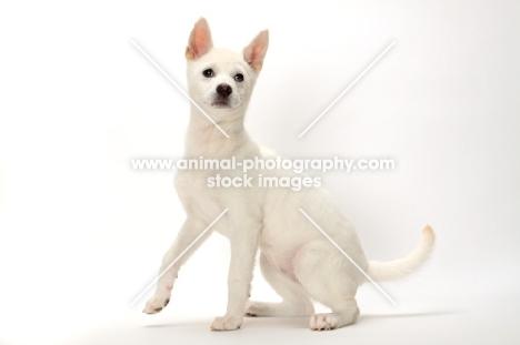 young Kishu on white background