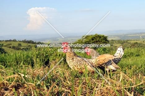 two Sebright Bantam chickens in field