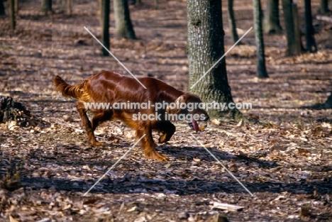 irish setter in usa trotting among trees