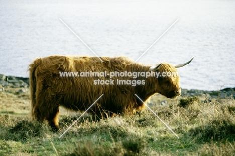 side view of highland cow on eriskay island