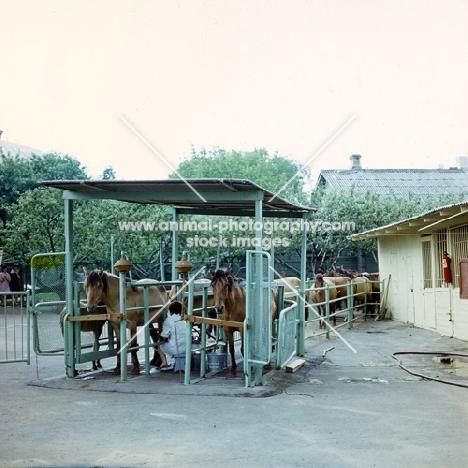 Milking Bashkir horses in Russia