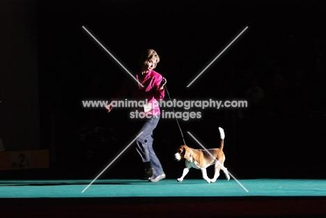 Beagle at show