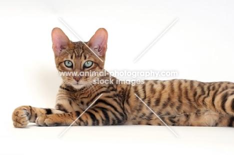 Toyger cat lying on white background, Brown Mackerel Tabby colour