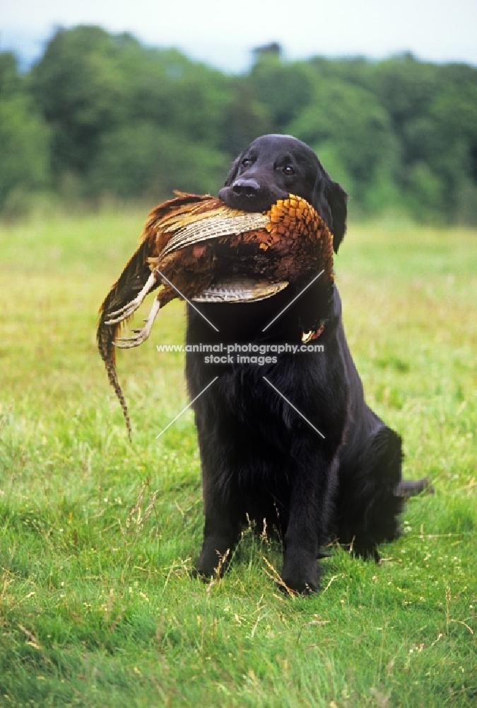 ch bordercot guy, flat coated retriever carrying pheasant