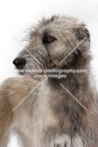 cream Irish Wolfound, portrait