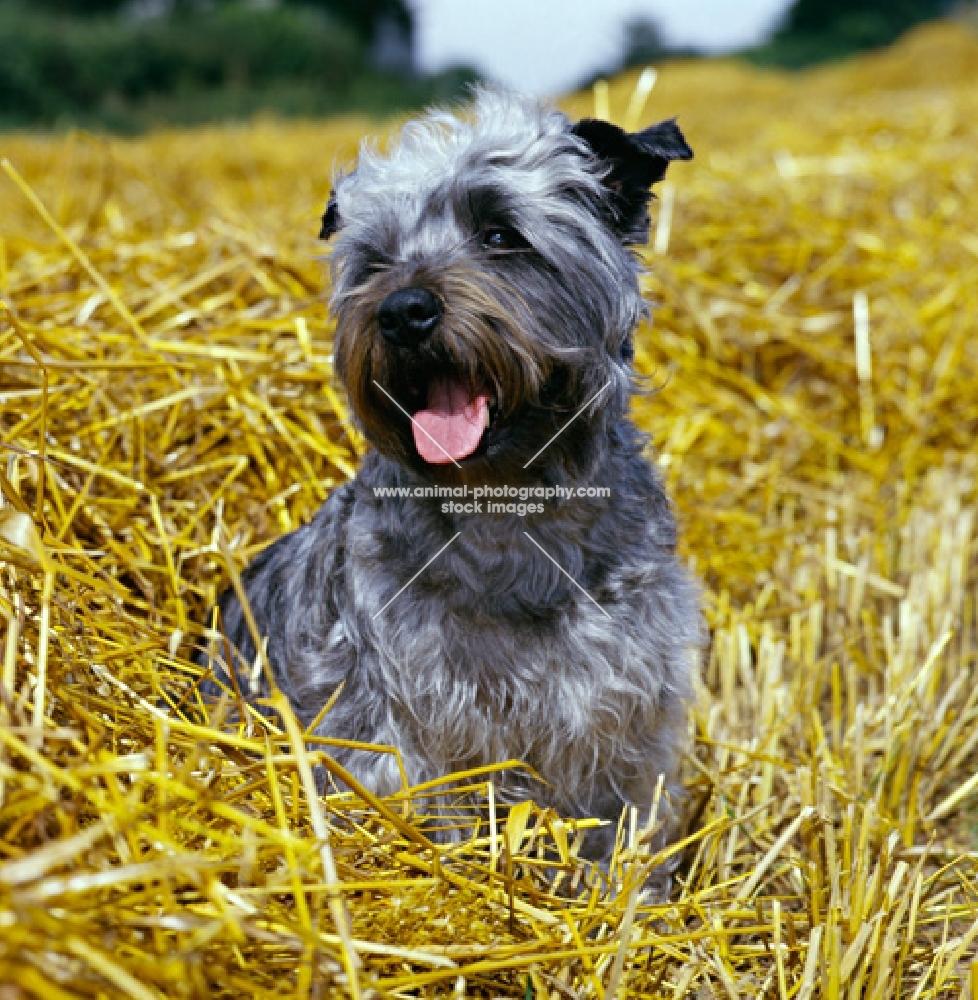 malsville moody blue of farni, glen of imaal terrier sitting in straw