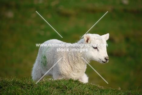 Texel cross lamb