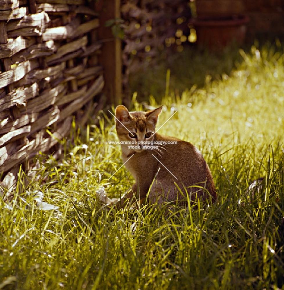 abyssinian kitten in wild garden