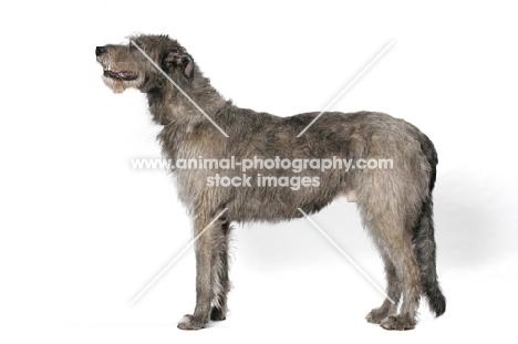 Australian Champion Irish Wolfhound, posed