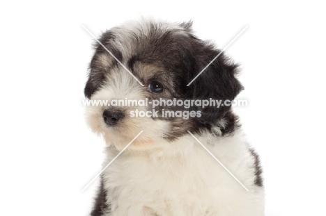 Polish Lowland Sheepdog puppy, portrait