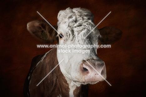Simmental cow portrait in studio