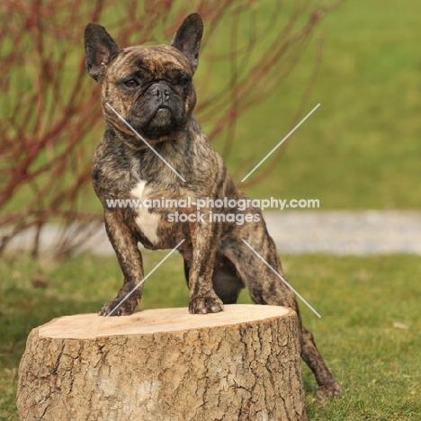 French Bulldog standing on tree stump