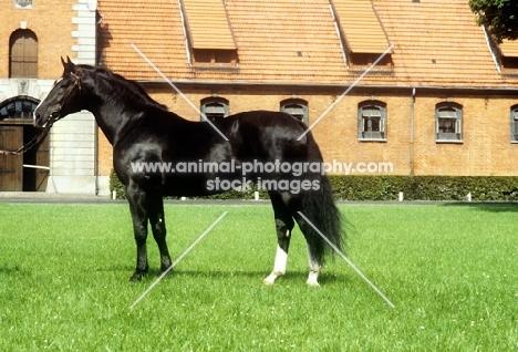 hanoverian stallion, lombard, at celle