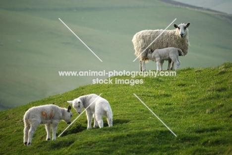 Texel Crossand Suffolk cross lambs