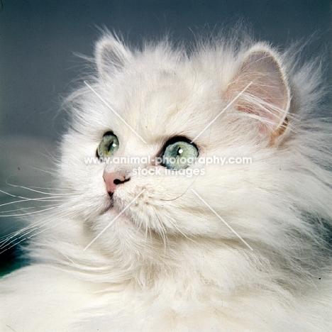 chinchilla cat watching