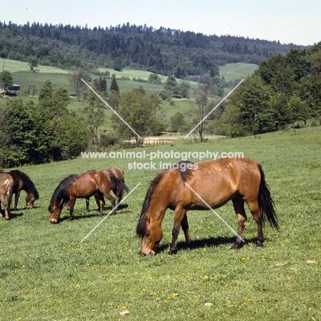 huzels grazing in Poland