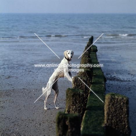 Saluki from Burydown standing up on breakwater