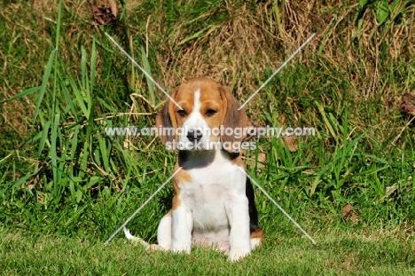 Beagle puppy sitting down