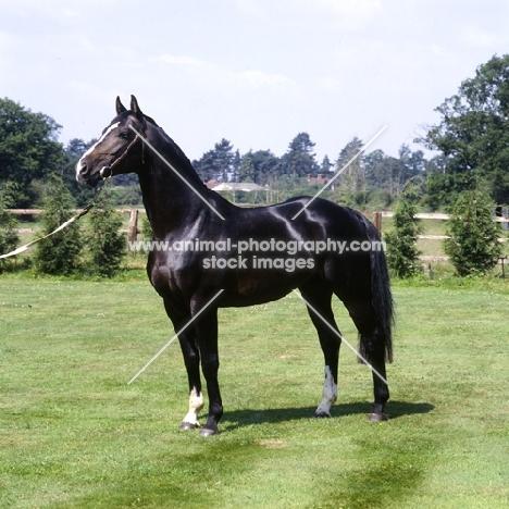 hanoverian stallion, atlanta