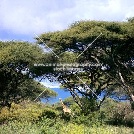 giraffe in lake manyara np,africa