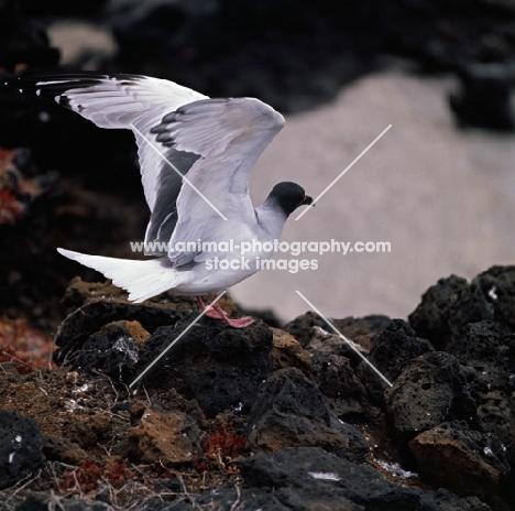 swallow tailed gull landing on lava, champion island, galapagos