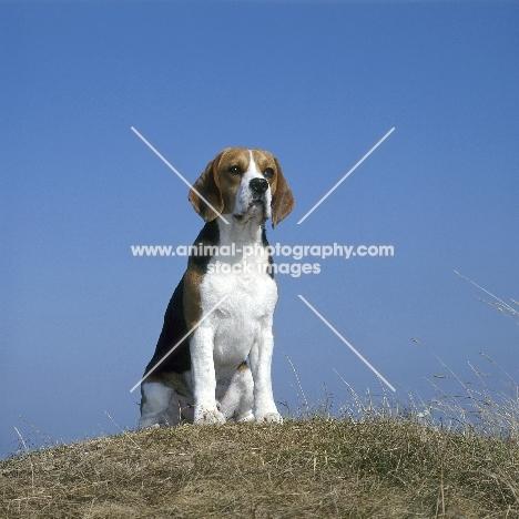champion beagle sitting on grass on raised ground