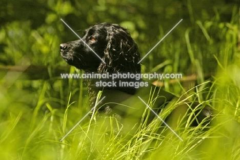 alert English Cocker Spaniel in high grass