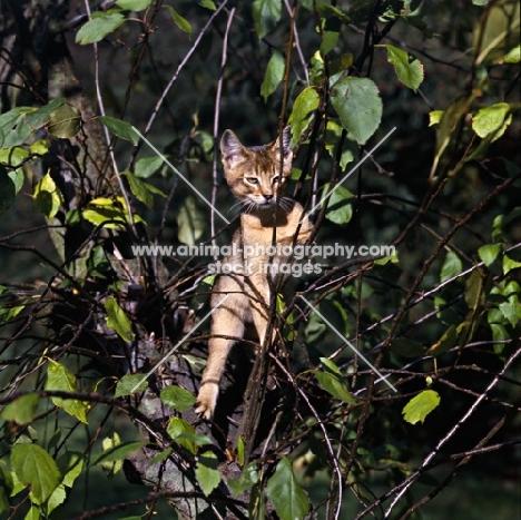 abyssinian kitten on branch