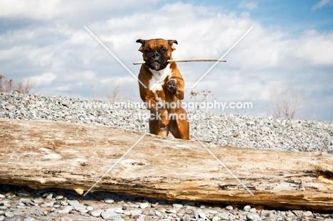 Boxer jumping log on beach