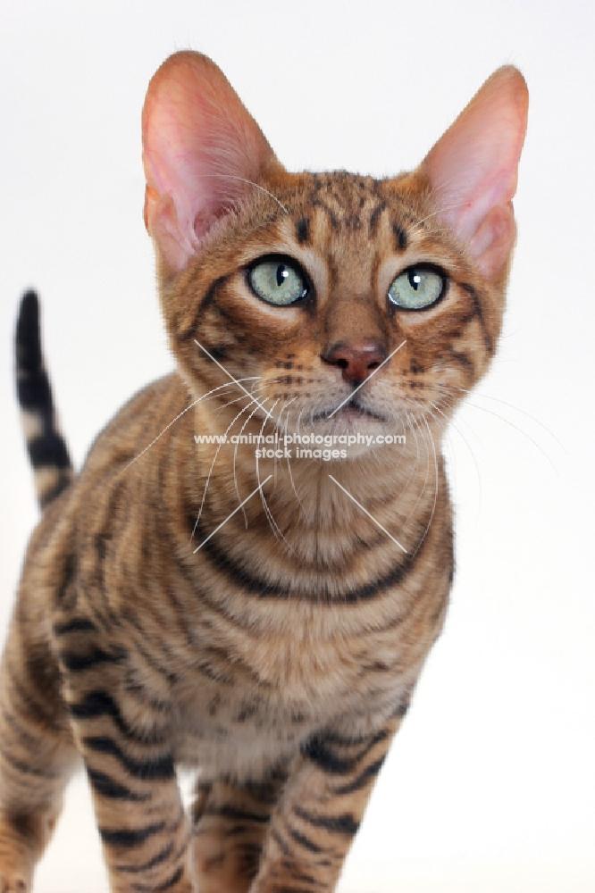 Toyger cat portrait on white background, Brown Mackerel Tabby colour