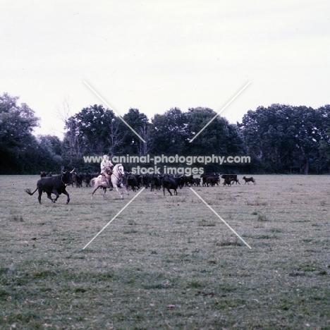 gardiens riding Camargue ponies rounding up bulls