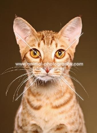 Ocicat portrait, front view