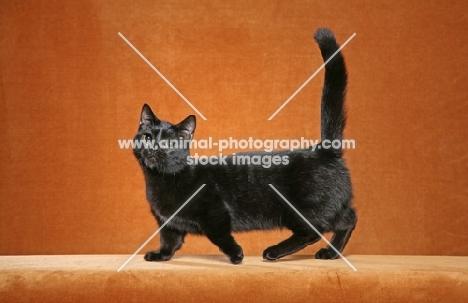 Munchkin cat on orange background