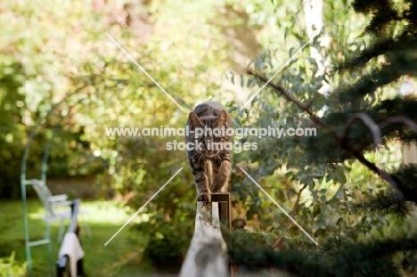 Tabby cat walking on fence towards camera