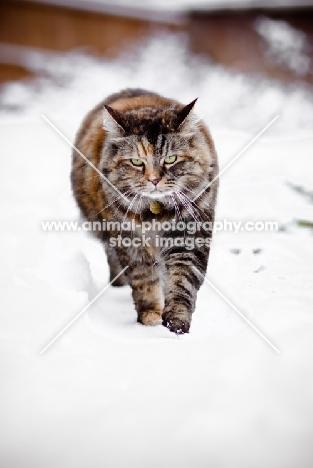 non pedigree cat in snow