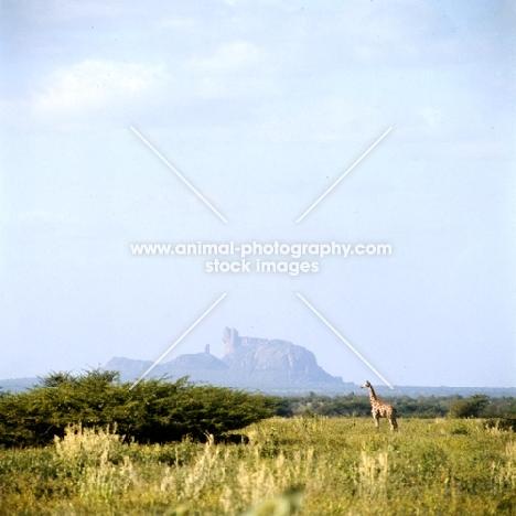 giraffe standing in the distance in samburu np