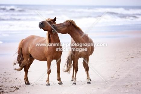 two wild assateague horses