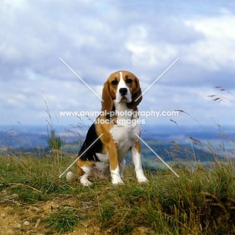 beagle looking at camera