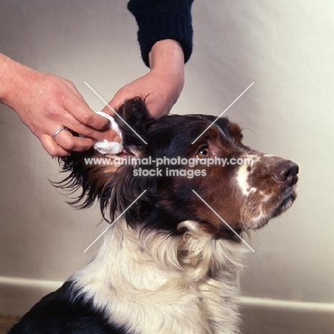 english springer spaniel having ears cleaned
