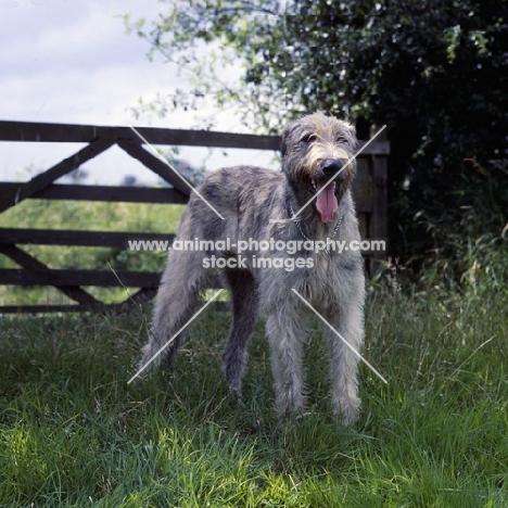 irish wolfhound by a gate fence