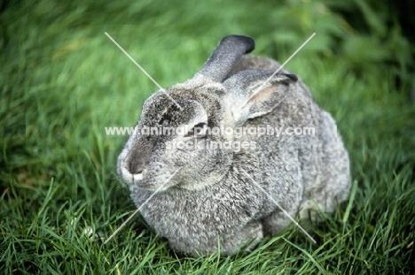 chinchilla rabbit sitting in grass
