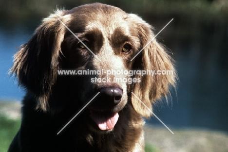 longhaired weimaraner, portrait
