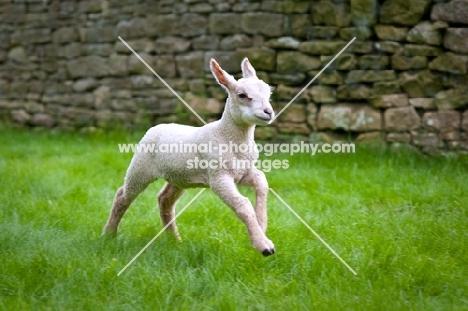Lamb running in field.