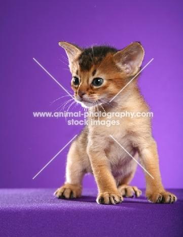 Abyssinian kitten on purple background